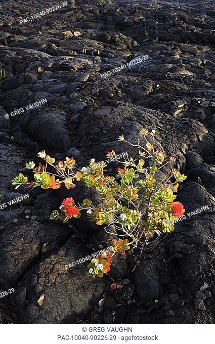 Hawaii, Big Island, Hawaii Volcanoes National Park, Chain of Craters Road, Ohi'a Lehua tree growing on Pahoehoe lava flow from Mauna Ulu eruption