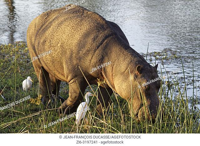 Hippopotamus (Hippopotamus amphibius), wading and grazing in the shallow water of the Sabie River, followed by two cattle egrets (Bubulcus ibis)