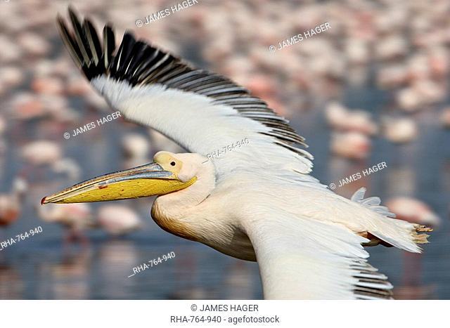 Great white pelican Eastern white pelican Pelecanus onocrotalus, Lake Nakuru National Park, Kenya, East Africa, Africa