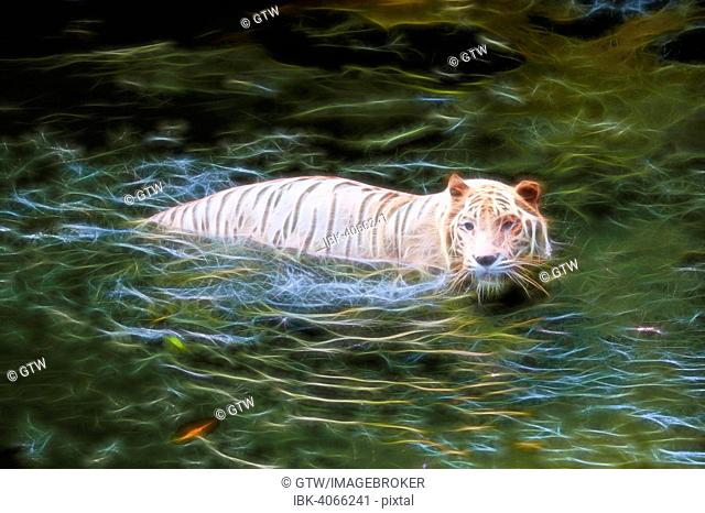 White Tiger (Panthera tigris tigris) in the water, captive, Singapore