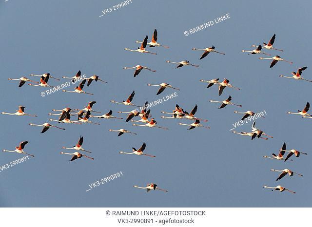 European Flamingo, Great Flamingo, Phoenicopterus roseus, in Flight, Saintes-Maries-de-la-Mer, Parc naturel régional de Camargue, Languedoc Roussillon, France