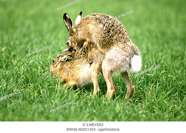 European hare Lepus europaeus, mating, Austria, Burgenland, Neusiedler See, April 03