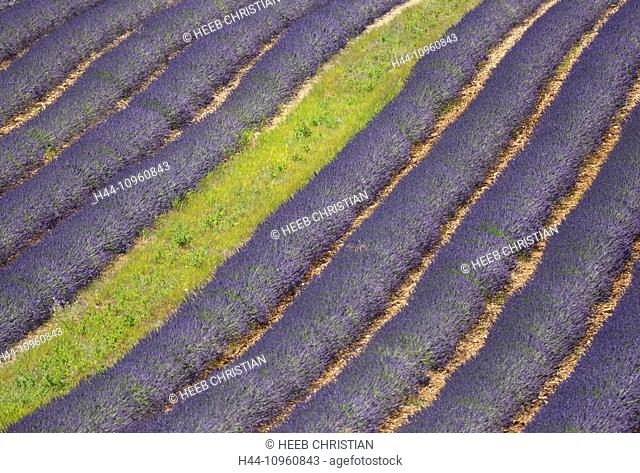 Europe, France, Provence, Vaucluse, lavender, lines, field, flowers, Valensole, Alpes de Haute Provence