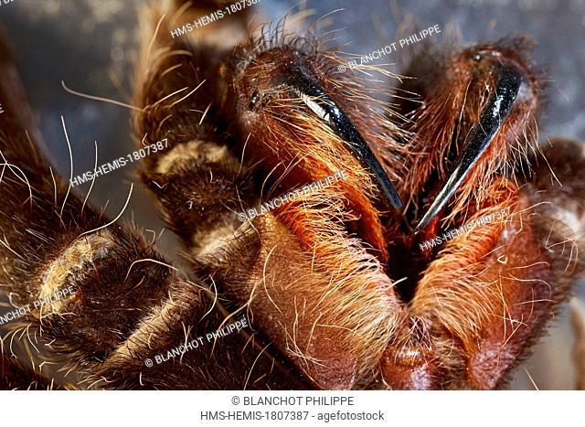 France, Paris, Museum National d'Histoire Naturelle, Arachnology Laboratory, ecdysis of tarantula, chelicerae of an orthognatha spider