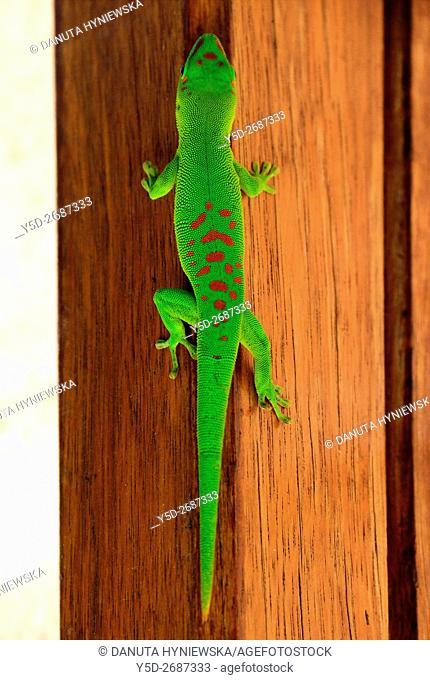 Phelsuma, day gecko, Mauritius