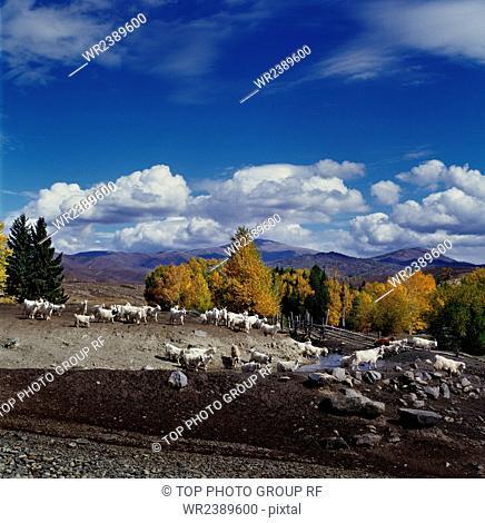 Xinjiang Zhuanchang Shepherding