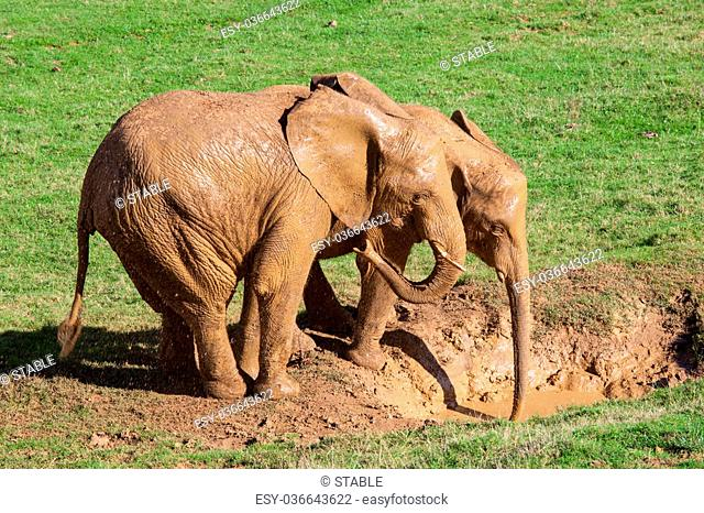 elephants taking a mud bath