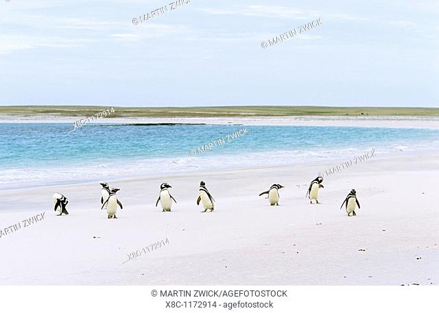 Magellanic penguin Spheniscus magellanicus group on sandy beach  The range of Magellanic Penguins is primarily patagonia and the Falkland Islands  On The...