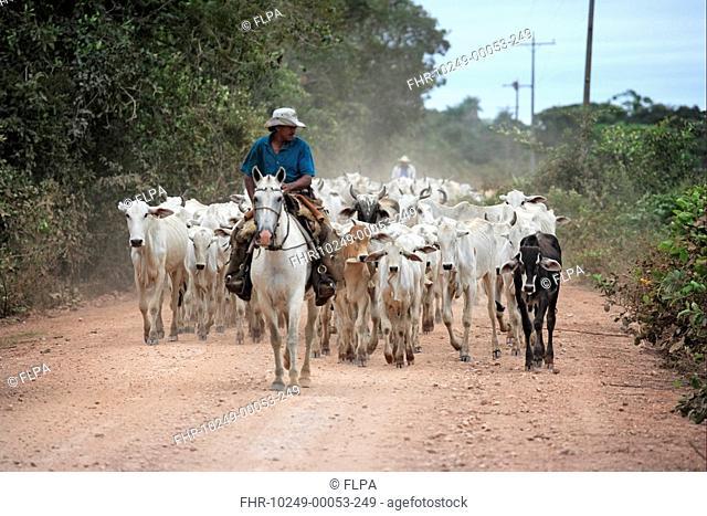 Domestic Cattle, Indo-Brazilian Zebu herd, being driven along road, cowboys on Pantaneiro horses, Pantanal, Mato Grosso do sul, Brazil