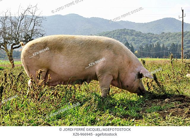 sow, pig, Sus scrofa domestica, in a green meadow
