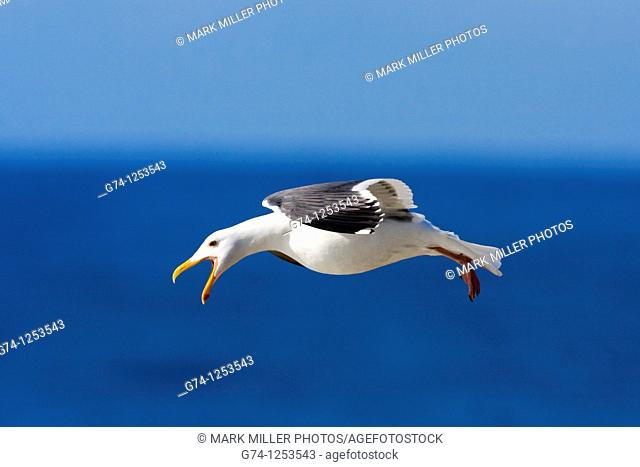 California Gull along Pacific Seashore California USA