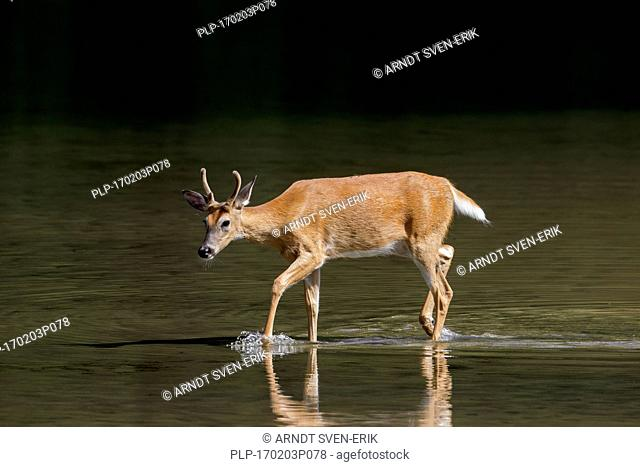 Whitetail deer / white-tailed deer (Odocoileus virginianus), young buck with antlers covered in velvet in shallow water of lake, Canada