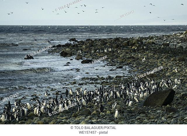 Colony of Magellanic Penguins (Spheniscus magellanicus), isla Magdalena, estrecho de Magallanes, Patagonia, República de Chile, South America