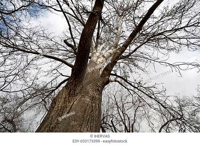 Poplar tree in winter. Trunk and branches of White Poplar (Populus alba) in winter. Photo taken in Retiro Park, Madrid, Spain