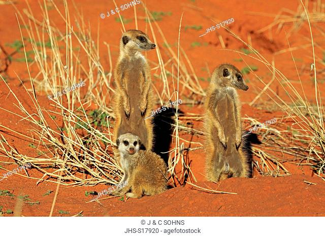 Suricate, (Suricata suricatta), group with young warming up at den in morning, Tswalu Game Reserve, Kalahari, Northern Cape, South Africa, Africa
