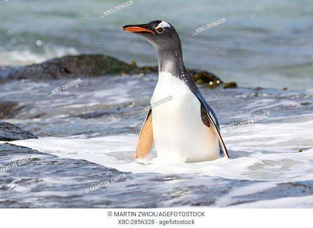 Gentoo Penguin (Pygoscelis papua), Falkland Islands. South America, Falkland Islands, January