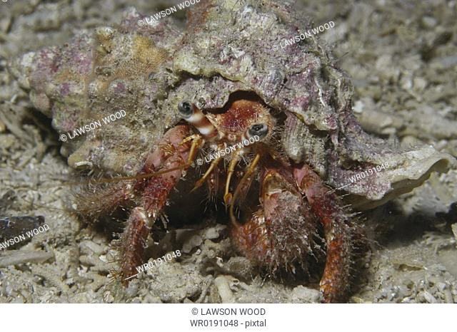 Hairy Hermit Crab pagarus cuanensis, view of hermit crab in its shell with all parts showing comical looking, Maltese Islands, Mediterranean