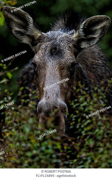 Moose, Algonquin Park, Ontario