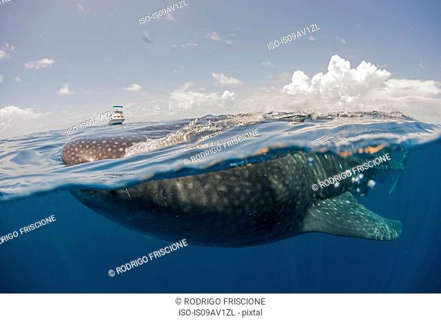 Whale shark feeding on the water surface, boat on horizon, Isla Mujeres, Mexico