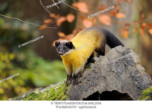 yellow-throated marten