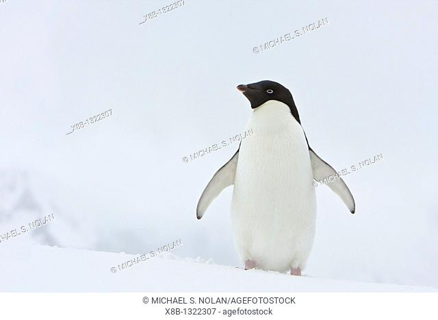 A lone adult Adelie penguin Pygoscelis adeliae on an iceberg off Port Lockroy, Antarctica  There are an estimated 2 million breeding pairs of chinstrap penguins...