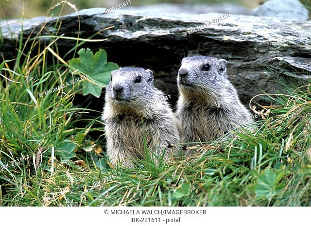 Alpine Marmot (Marmota marmota) two young, juvelines emerging from burrow