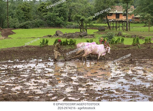 Farmer plowing paddy fields with his bulls before planting rice
