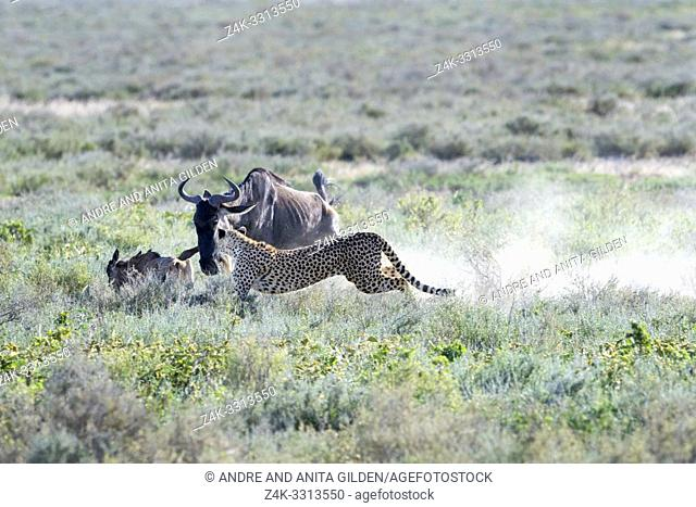 Cheetah (Acinonyx jubatus) hunting on a blue wildebeest (Connochaetes taurinus) calf, chased away by the mother wildebeest, Ngorongoro conservation area