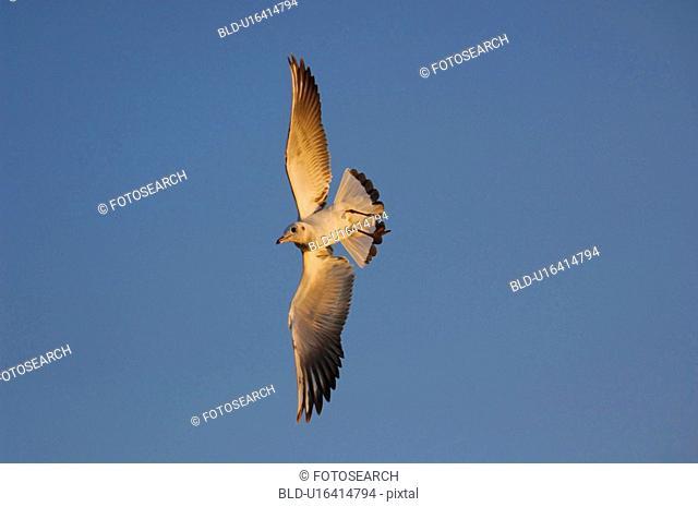 lachmoeve, alkenvogel, huwiler, canton, bird, larus, alkenvoegel