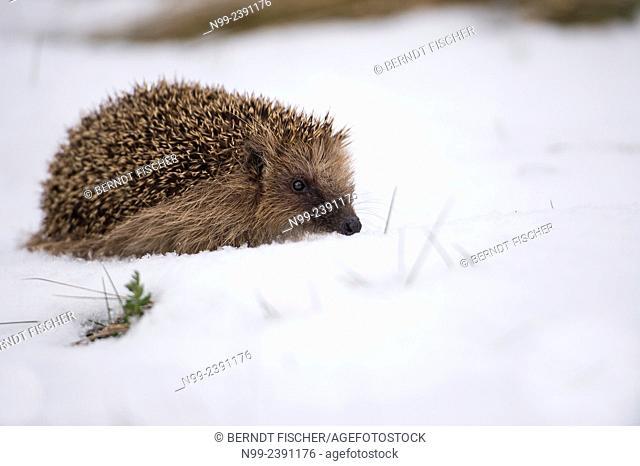 Hedgehog (Erinaceus europaeus), woke up from winter sleep, walking in snow, Bavaria, Germany