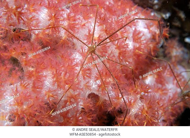 Spider crab on soft coral, Chirostylus spec., Dumaguete, Negros, Visayan Sea, Philippines