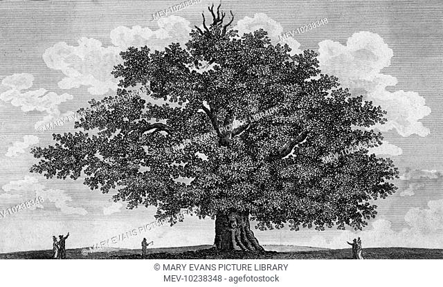 The Penshurst Oak, in the grounds of Penshurst, Kent, home of the Sidney family