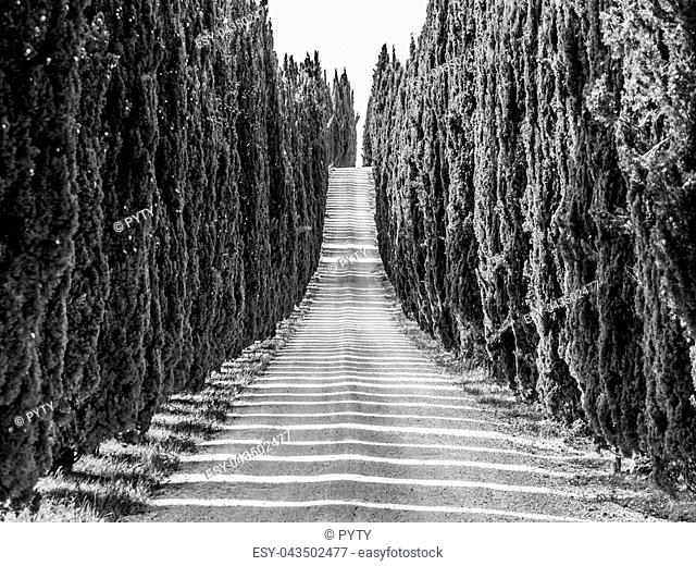 Cypress alley with rural country road, Tuscany, Italy. Black and white image
