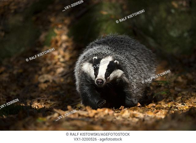 European Badger ( Meles meles ), adult animal, runs through a spotlight on the ground of a forest, looks funny, frontal shot, Europe