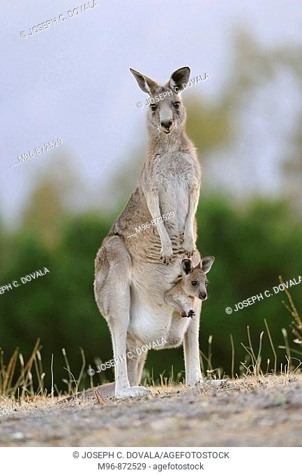 Kangaroo with joey in pouch standing upright, Australia