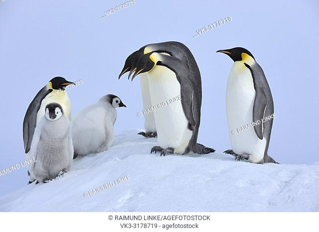 Emperor penguins, Aptenodytes forsteri, Adults and Chicks, Snow Hill Island, Antartic Peninsula, Antarctica