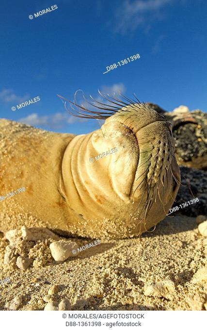 Hawaï , Midway , Sand Island , Hawaiian monk seal  Monachus schauinslandi
