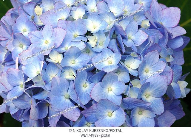 Bigleaf hydrangea (Hydrangea macrophylla). Called French hydrangea, Lacecap hydrangea, Mophead hydrangea, Penny mac and Hortensia also