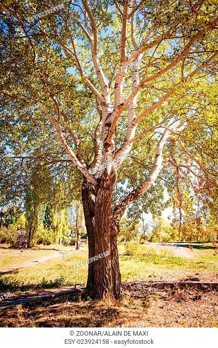 Big White Poplar in the Park