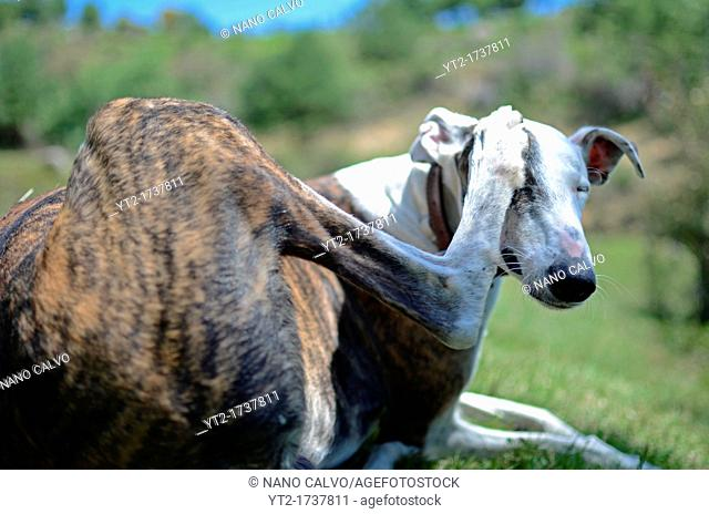 Spanish greyhound scratching his face