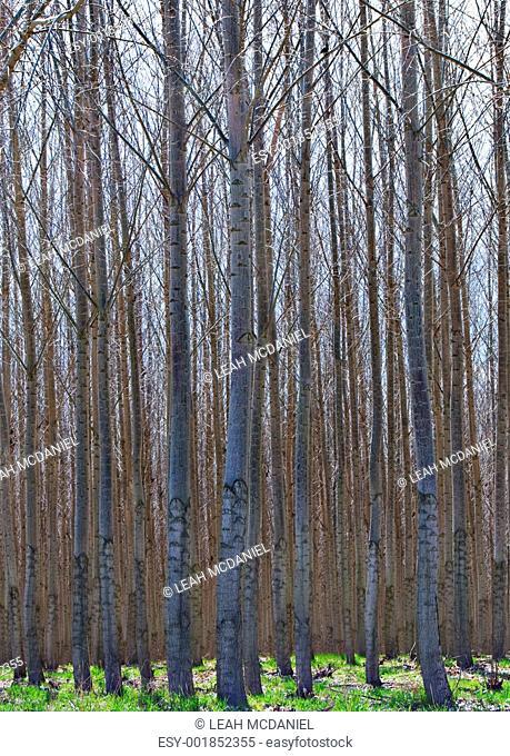 Hybrid Poplar Grove in Oregon