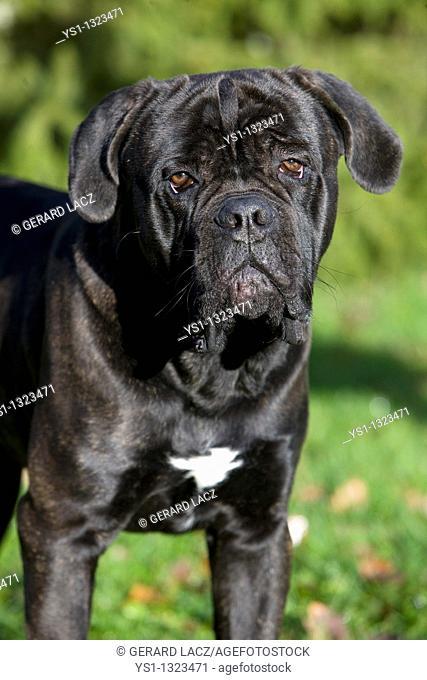 CANE CORSO, A DOG BREED FROM ITALY