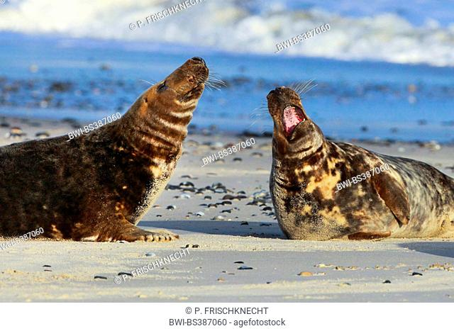 gray seal (Halichoerus grypus), two fighting males, Germany, Schleswig-Holstein, Heligoland