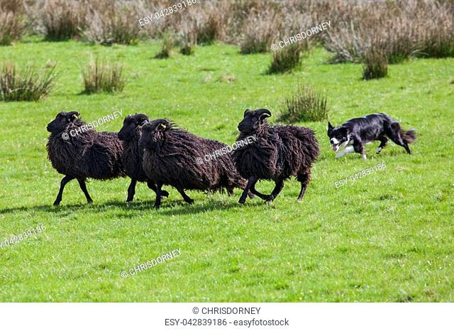 A sheep dog herding a flock of sheep on farmland