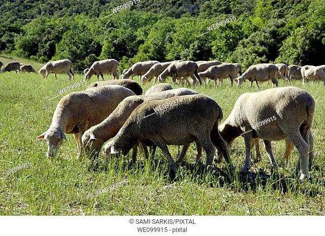 Herd of sheep grazing in a field during spring