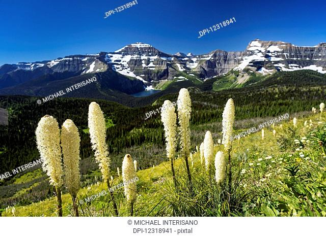 Close up of flowering bear grass (Xerophyllum tenax) on hillside overlooking valley below with mountain range and alpine lake and blue sky; Waterton, Alberta