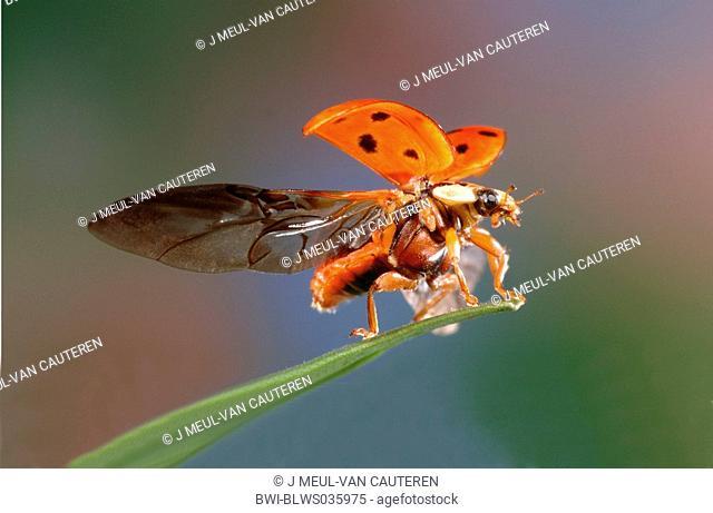 multicoloured Asian beetle Harmonia axyridis, starting