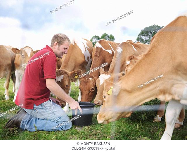Farmer feeds Guernsey calves