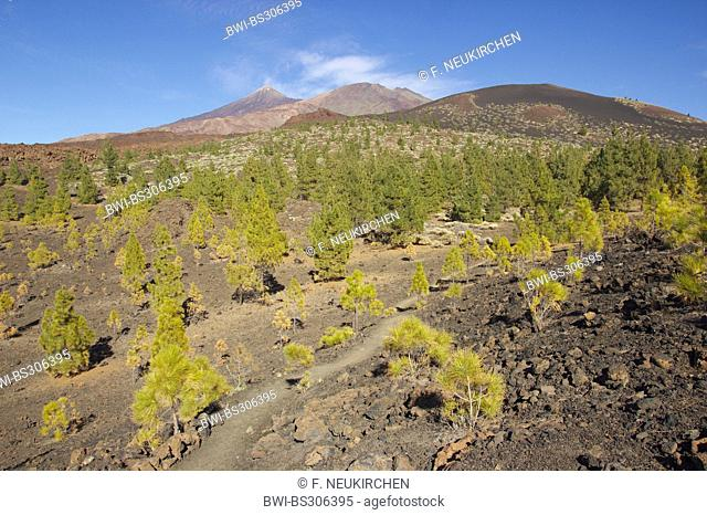 Canary pine (Pinus canariensis), pine forest at Teide and Poco Viejo, Canary Islands, Tenerife, Teide National Park