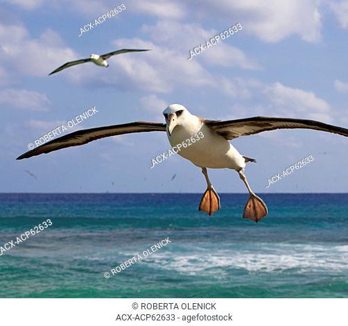 Laysan albatross (Phoebastria immutabilis), in flight, Sand Island, Midway Atoll National Wildlife Refuge, Northwest Hawaiian Islands